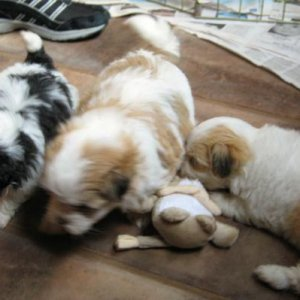Atticus (Center) and Siblings 5 Weeks 2009 07 23