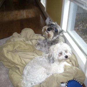 Button & Bentley (mini Schnauzer) Their favorite spot - on the pillow watching out the window